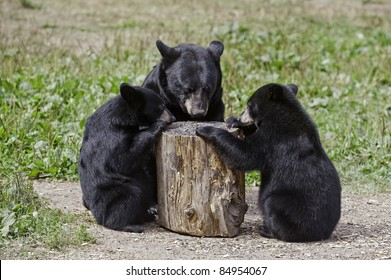Table for Three.  Black bear mother and two cubs (Ursus Americanus) eat a cache of sunflower seeds from the top of an upturned log.