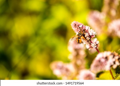 tachinid fly on a flower of a peppermint in summer in Germany