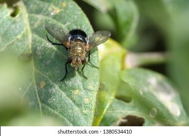 Tachinid Fly on a leaf in Cotacachi, Ecuador