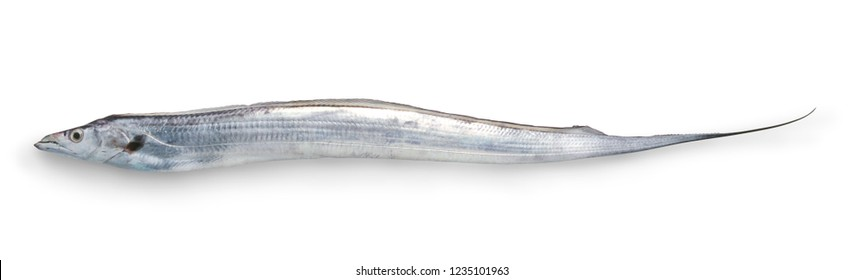 Tachiuo (Scabbard fish, frost fish,  cutlassfish, hairtail)