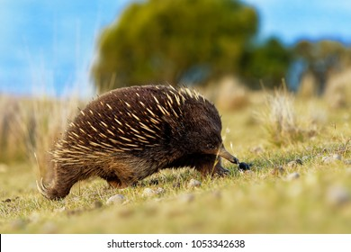 Tachyglossus aculeatus - Short-beaked Echidna in the Australian bush, known as spiny anteaters, family Tachyglossidae in the monotreme order of egg-laying mammals, Tasmania, Australia.