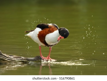 Tadorna tadorna, Common Shelduck, colorful goose, male cleaning feather. Water drops and green water. Spring, France, Camargue.