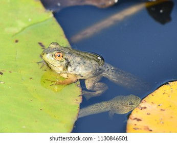 Tadpole of the frog yellow under water on background and Green lotus leaf