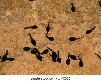 Tadpoles in the water