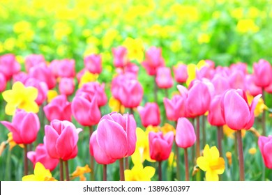 Taean County. Chungcheongnamdo. Korea. April 23, 2019 Taean World Tulip Festival, the harmony of tulip flowers and daffodils in various beautiful colors.