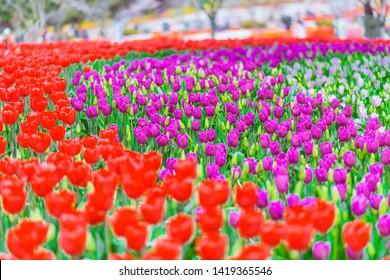 Taean County, South Korea, Taean world tulip festival, Chungcheongnamdo. Korea.