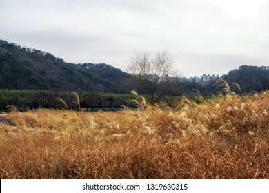 taehwagang park reeds in ulsan, south korea. Field of tall reeds in the open park field.