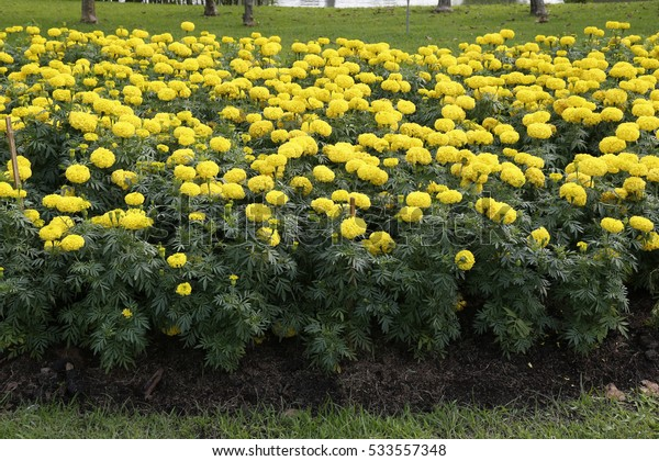 Tagetes erecta  flowers in the garden for  Landscape Used or background Used , at King Rama IX Park, Bangkok,Thailand