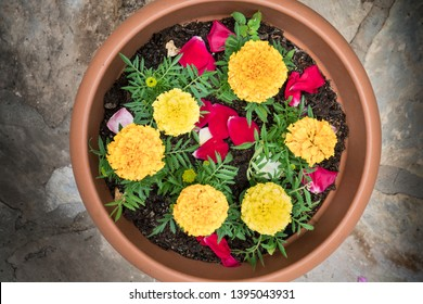 Tagetes erecta, yellow marigold flower. In flower pot, top view