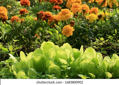 Tagetes flower with lettuce protects vegetable against parasites and diseases. Backyard ecological home garden cultivated in accordance with permaculture principles.