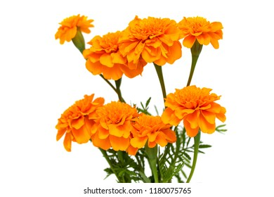 White marigold flower images stock photos vectors shutterstock tagetes of flowers isolated on white background mightylinksfo