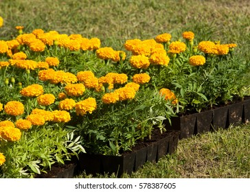 Tagetes. Flowers are planted on the lawn.