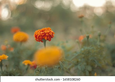 """Tagetes patula, commonly called French marigold, is a compact annual that typically grow 6-12"""" tall and feature single, semi-double, double or crested flowers (1-2"""" diameter) in shades of yellow, oran"""