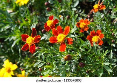 Tagetes patula or french marigold many red and yellow flowers
