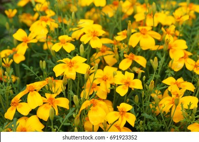 Tagetes tenuifolia or the signet marigold or golden marigold yellow flowers with orange core