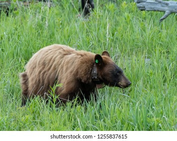 Tagged and Collared Black Bear in Summer field in grassy field
