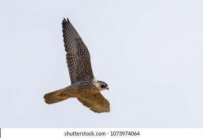 Tagged Peregrine Falcon In Flight