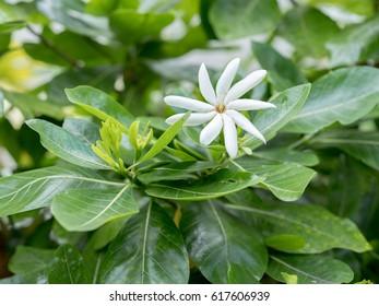 Tahitian Gardenia  Flower
