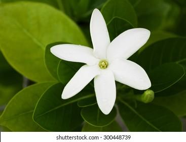 "A ""tahitian gardenia"" flower, known as Tiare, in French Polynesia"