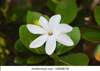 Tahitian Gardenia Tiare close up