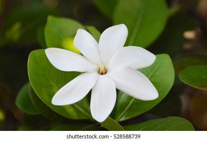 Tahitian Gardenia Tiare Tahiti close up