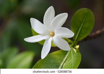 Tahitian Gardenia Tiare Tahiti on shrub
