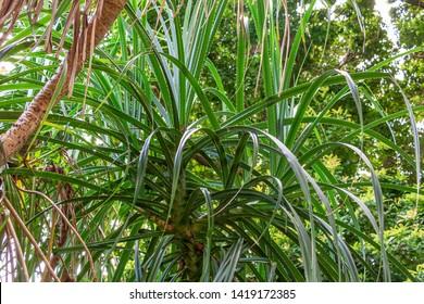 Tahitian screwpine a.k.a. hala tree (Pandanus tectorius) leaves - Florida, USA