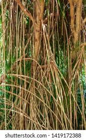 Tahitian screwpine a.k.a. hala tree (Pandanus tectorius) aerial prop roots - Florida, USA