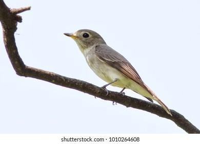 Taiga Flycatcher Bird non-breeding. Ficedula albicilla family. Red-throated Flycatcher.