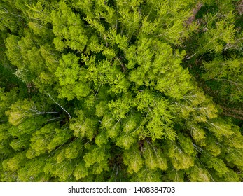 Taiga forest from aerial view. Russian deciduous forest, birch grove. Beautiful green nature landscape
