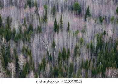 Taiga forest in autumn from aerial view. Pine forest