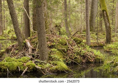 """""""Taiga"""" like marshy natural forest,springtime,middle europe,poland,bialowieza forest"""