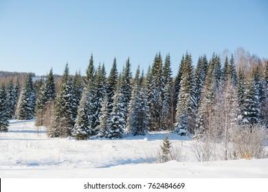 Taiga wood in the winter. Winter taiga. The Siberian wood in the winter in Russia.
