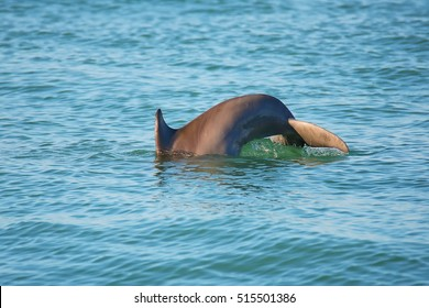 Tail of diving Common bottlenose dolphin near Sanibel island in Florida