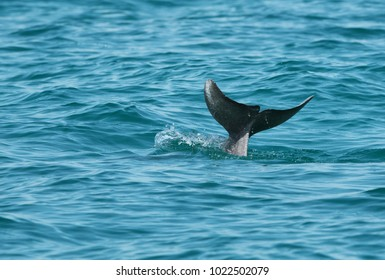 A tail of Dolphin seen above the water