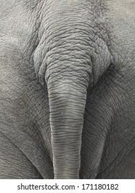 tail of elephant