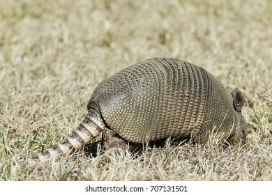 Tail end of an armadillo with leathery armor shell on the Natchez Trace Parkway, Tishomingo County, Mississippi.