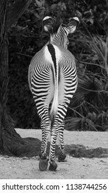 Tail end of a zebra with converging lines in black and white.