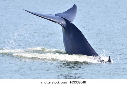 Tail fin of Bryde's whale in gulf of Thailand