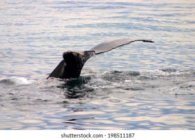 Tail fin of a gray whale in Atlantic