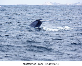 The tail fluke of a big Blue Whale in the Santa Barbara channel with San Miguel Island in the back ground.