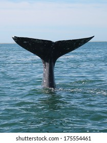 The tail flukes of a gray whale rise in the air as it dives in a sanctuary lagoon in Baja Mexico