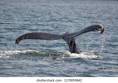 The tail of a humpback whale.