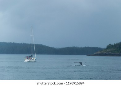 Tail of a humpback whale in front of a sail boat near Tofino, Vancouver Island, British Columbia, Canada-2.NEF