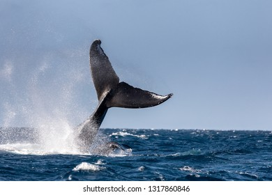 Tail of a humpback whale, Maui, Hawaii