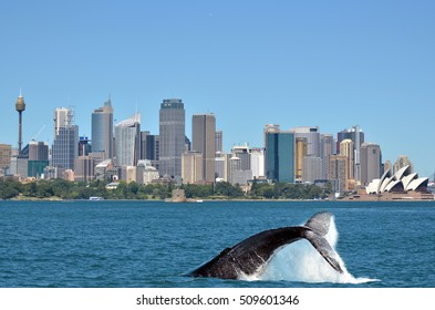 The tail of a Humpback Whale (Megaptera novaeangliae) rise above the water against Sydney skyline in New South Wales, Australia.