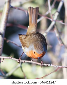 Tail up Robin Redbreast