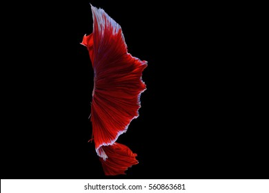 The tail of the Siamese fighting fish