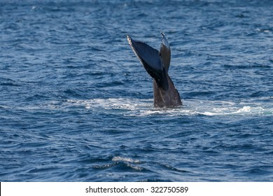 Tail slapping humpback whale