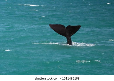Tail of a southern right whale in the bay off Kleinbaai, South Africa